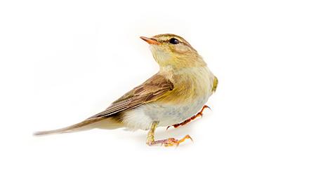 warbler migratory bird