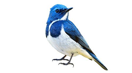Blue bird, Ultramarine Flycatcher (superciliaris ficedula) fully standing with detail from head to toes, exotic nature
