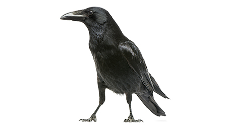 side view of a Carrion Crow