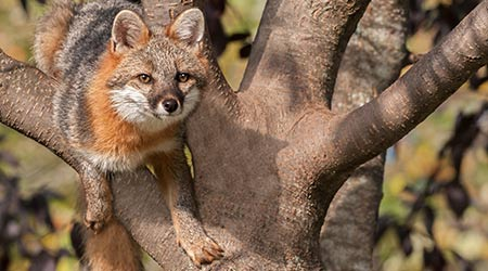 Grey fox climbing a tree
