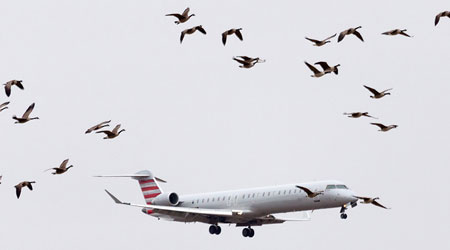 Airplane and flock of geese.
